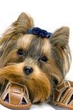 York terrier Royaltyfri Bild