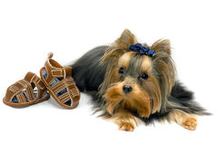 York Terrier. Little mini York Terrier - cute dog Royalty Free Stock Photo