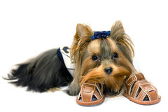 York Terrier. Little mini York Terrier - cute dog Stock Photography