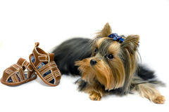 York Terrier. Little mini York Terrier - cute dog Royalty Free Stock Image