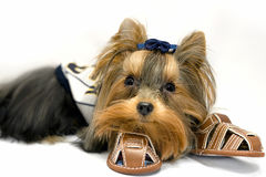 York Terrier. Little mini York Terrier - cute dog Royalty Free Stock Photography