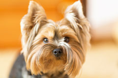 York Terrier looks closely at his master. Yorkshire terrier, puppy, young dog, close up. Stock Image