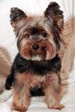 Yorkhire狗 免版税图库摄影