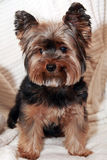 Yorkhire terrier. Cute Yorkie sitting on a white towel Royalty Free Stock Photography