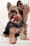 Yorkhire terrier. A little Yorkie sitting on a white towel Royalty Free Stock Photo