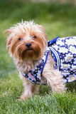Yorki portrait Stock Photography