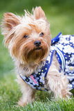 Yorki portrait Royalty Free Stock Image