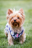 Yorki portrait Stock Images