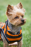 Yorki portrait Royalty Free Stock Photography