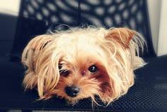 Yorki Terrier. Yorkshire terrier dog Stock Photos