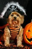 Yorkie佩带的海盗帽子为万圣夜 库存图片