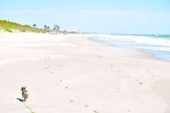 Yorkie在海滩宽松跑 库存图片