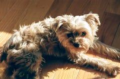 Yorkie лежа в Солнце Стоковое Изображение RF
