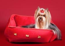 yorkie печки щенка стенда красное стоковая фотография