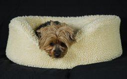 Yorkie. Tuckered out Yorkshire Terrier Stock Photography