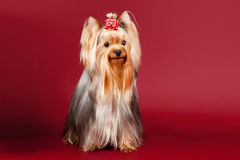 Yorkie. On dark red background Royalty Free Stock Photo