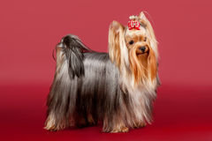 Yorkie. On dark red background Royalty Free Stock Images