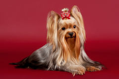 Yorkie. On dark red background Stock Photography