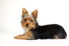 Yorkie Stock Photo