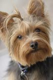 Yorkie 2 Stock Photo