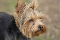 Yorkie 2. Portrait of my best friend, a yorkshire terrier puppy Royalty Free Stock Photo
