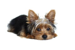 Yorkie Foto de Stock Royalty Free