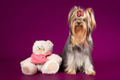 Yorkie. On dark purple background Royalty Free Stock Photography