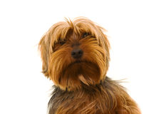 Yorkie Images stock