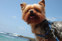 Yorkie Stock Photography