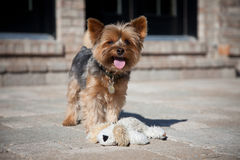 Yorkie Photo stock