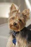 Yorkie 3. My yorkshire terrier posing for a portrait Stock Image