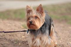 Yorkie Stock Photos