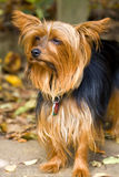Yorkie Stock Images