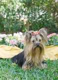 Yorkie adult flowers 2 Stock Images