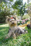 Yorkie adult flowers 4 Stock Photography