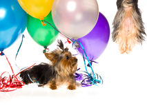 Yorkie with balloons watching pup drift up in air Stock Photography