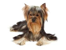 Yorkie with bang of hair Royalty Free Stock Photography