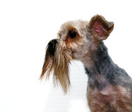 Yorkie barbuto Immagine Stock