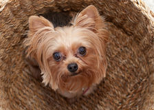 Yorkie in a basket Stock Images