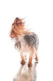 Yorkie after bath shaking hair Stock Image