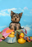 Yorkie in a bath tub Royalty Free Stock Image