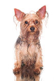 Yorkie after bath Stock Image