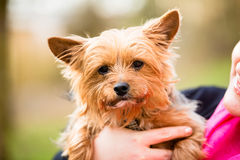 Yorkie being hold by dog mama Stock Photography