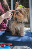 Yorkie with bow Royalty Free Stock Images