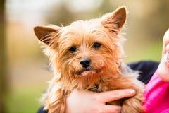 Yorkie che è tenuta dalla mamma del cane Fotografia Stock