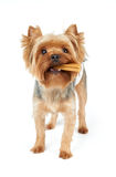 Yorkie chews dental stick Stock Photography