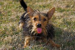 Yorkie chihuahua mix. Funny little dog making faces at me Royalty Free Stock Images