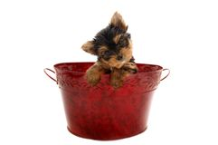 Yorkie for Christmas Royalty Free Stock Images