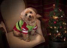 Yorkie Christmas Dog. Small dog dressed for Christmas Stock Photos