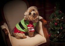 Yorkie Christmas Dog and Tree. Small dog dressed for Christmas Stock Images